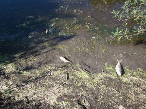 Peces muertos en el Arroyo Canelón Chico, tomadas el 28 de Enero de 2013 (en la zona 4 de la Figura 1)